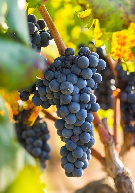 enoitalia primitivo manduria uva